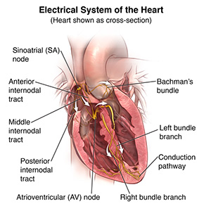 Illustration showing a cross section of the heart and the electrical system