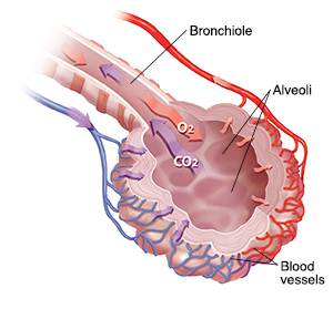 Bronchiole and alveolar sac with blood supply showing oxygen/carbon dioxide exchange.