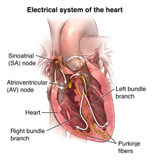 Electical system of the heart