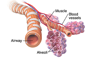 Bronchiole and alveolar sacs with blood supply.