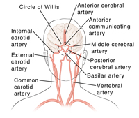 Front view, arterial circulation of the brain, including carotid arteries.