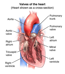 Anatomy of the heart showing the valves