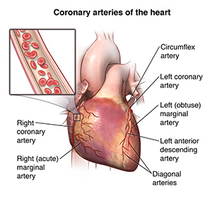 Illustration showing the outside of the heart and the coronary arteries